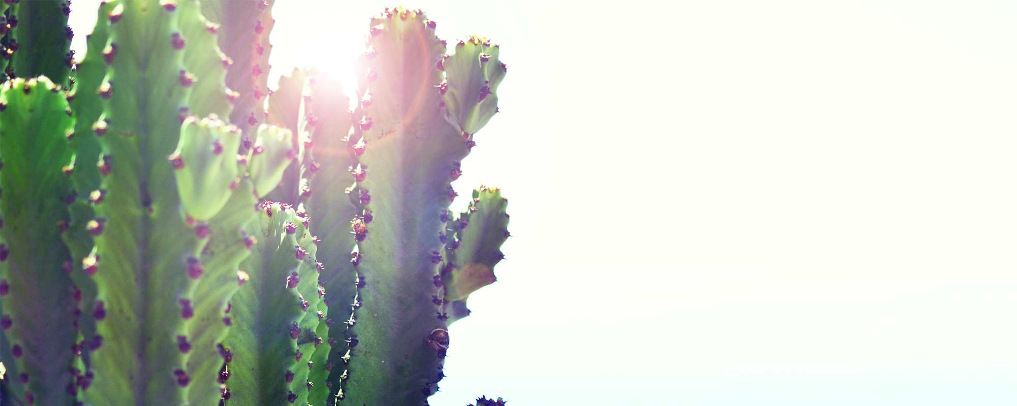 Close-up of cactus with sun shining behind it