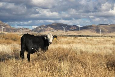 Cow in field with wind turbines in background